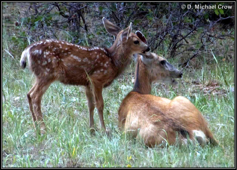 Fawn & Mother in Stonewall